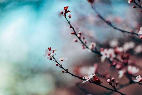 Cherry Blossom Cherry Blossom Tree Tree Close Up
