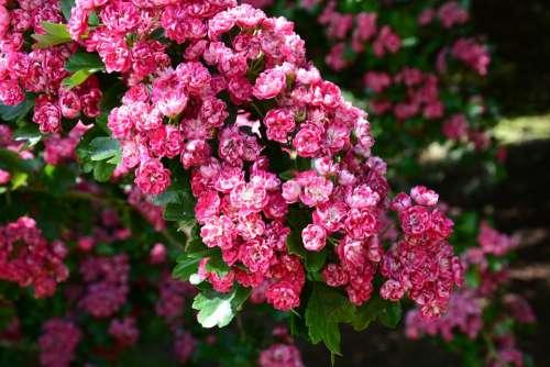 Cherry Blossom Cherry Tree Blossom Flower Flowering
