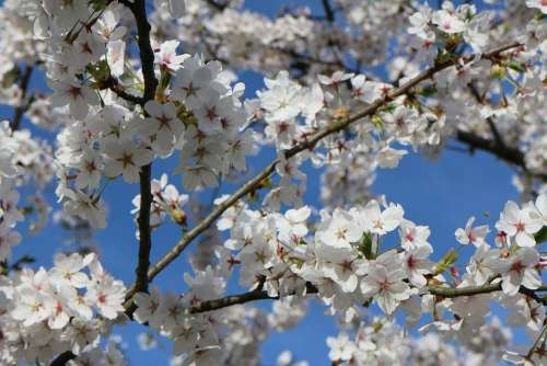Cherry Blossom Nature Spring Blossom Bloom Plant