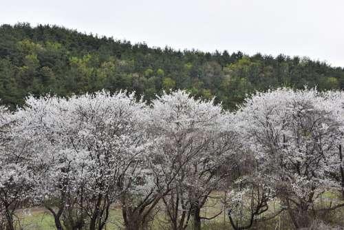 Cherry Blossom Spring Flowers White Flowers