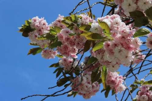Cherry Blossom Sky Blue Pink Flora Spring Nature