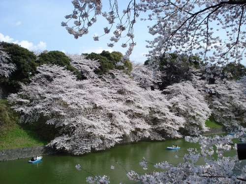 Cherry Blossoms Trees Spring Japan Sakura Season