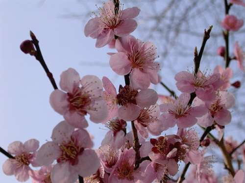 Cherry Blossoms Trees Spring Pink Flower Floral