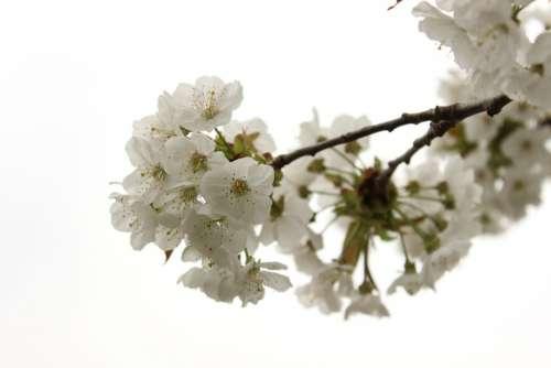 Cherry Tree Blossom Bloom Spring Bloom Tree