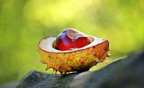 Chestnut Autumn Spur Open Open Chestnut Shell