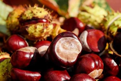 Chestnut Ordinary Rosskastanie Fruit Red Shiny