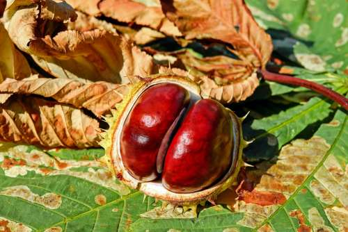 Chestnut Autumn Buckeye Ordinary Rosskastanie