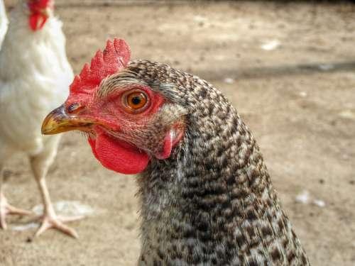 Chicken Pattern Bird Farm Close Up Plumage