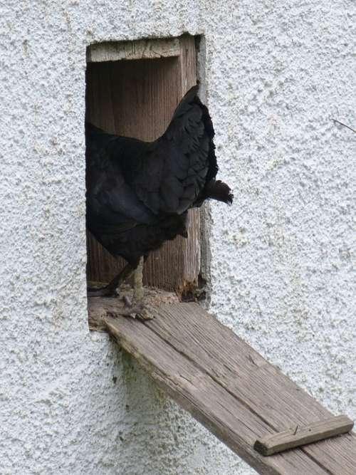 Chicken Chicken Coop Chicken Steps Poultry