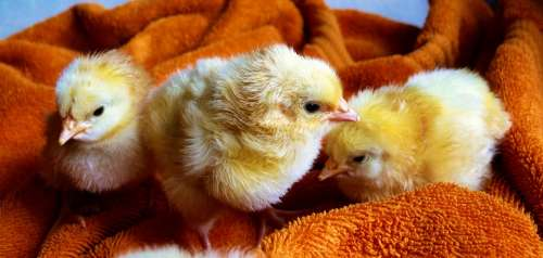 Chicks Animal Fluffy Poultry Young Animals