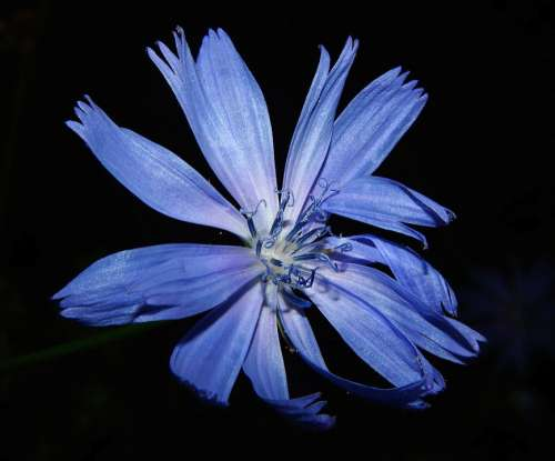 Chicory Flower Blossom Bloom Blue Close Up Summer