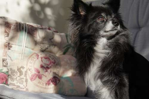 Chihuahua Dog Small Cute Sunbeam Enjoy Spring