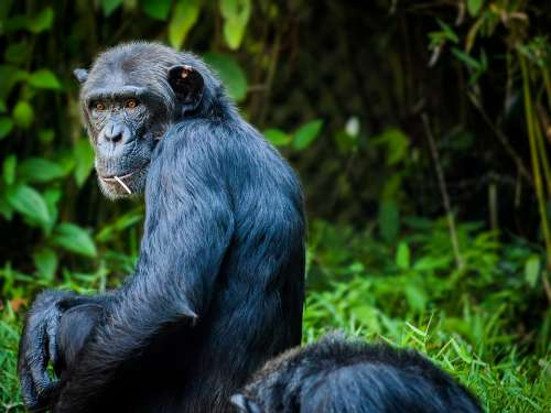 Chimpanzee Monkey Ape View Animal Black Fur
