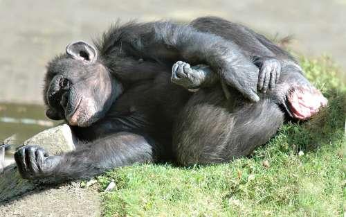 Chimpanzee Animal Monkey Mammals Primate Portrait