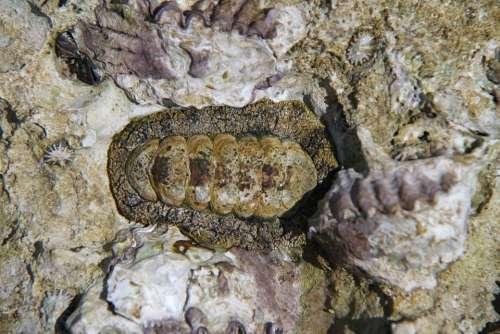 Chiton Mollusk Sea Marine Ocean Nature Animal