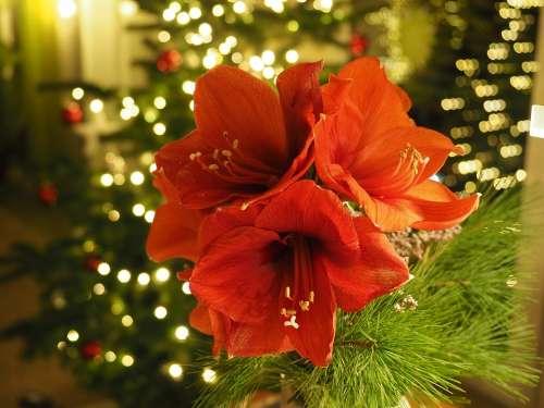 Christmas Amaryllis Flower