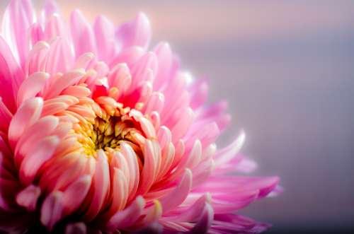 Chrysanthemum Blossom Flower Pink
