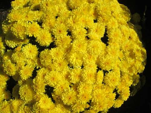 Chrysanthemum Garden Flower Cluster Yellow