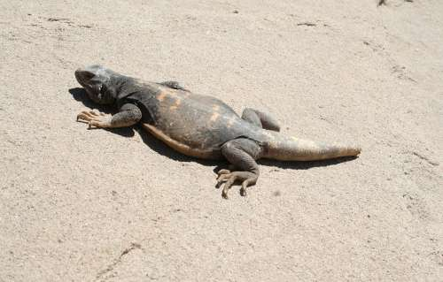 Chuckwalla Lizard Chuckwalla Lizard Nature Wildlife