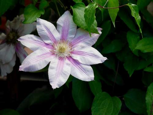 Clematis Bloom Purple Lilac Blossom Flower Nature