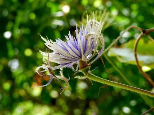 Clematis Flowering Flowers Flower Flora Lilac
