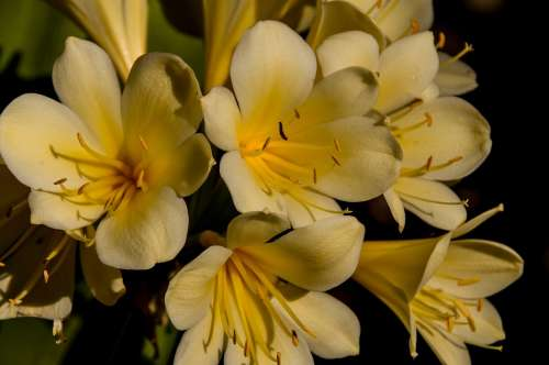 Clivia Yellow Bulb Flower Floral Bloom Blossom