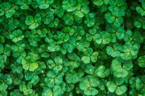 Clover Plant Green Vegetation Background Greenery