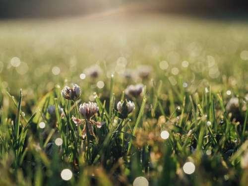 Clover Trefoil Floral Grass Vegetation Growth