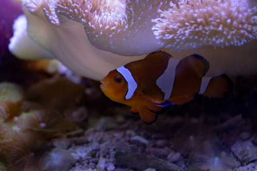 Clown Fish Aquarium Underwater Nemo Fish