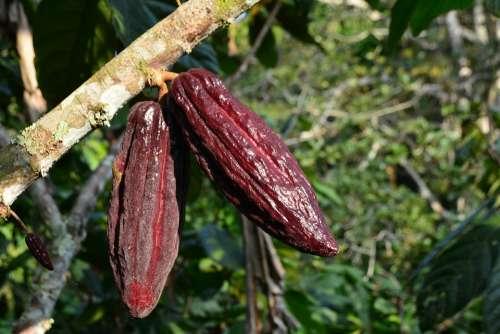 Cocoa Cacao Plant Cacao Plant Cocoa Fruit Fruit