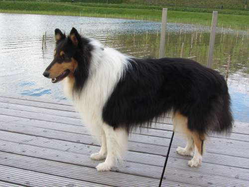 Collie Tricolor Long Haired Collie Purebred Dog