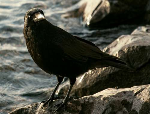 Common Raven Raven Crow Bird Animal Animal World