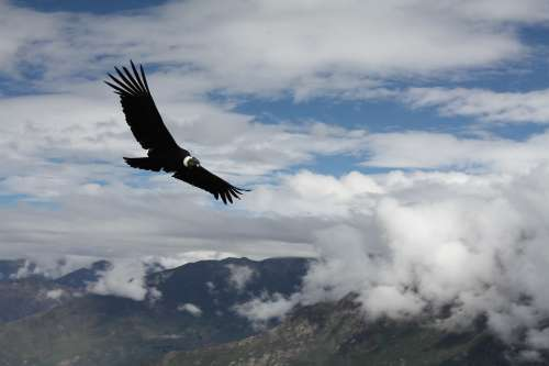 Condor Peru Animal Flight