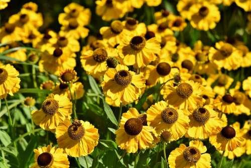 Coneflower Blossom Bloom Petal Yellow Flower
