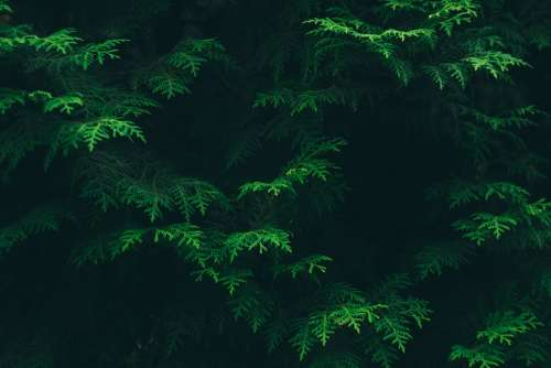 Conifer Evergreen Green Environment Flora Foliage