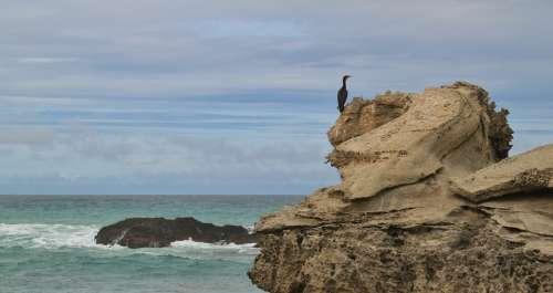 Cormorant Bird Water Bird Coast Animal Water Sea