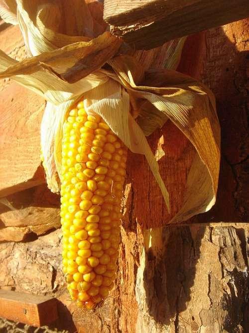 Corn Ear Sun Harvest Yellow Decoration