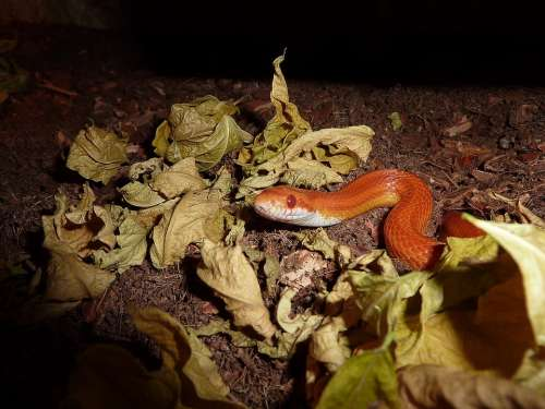Corn Snake Snakes Terraristik Non Toxic Scale