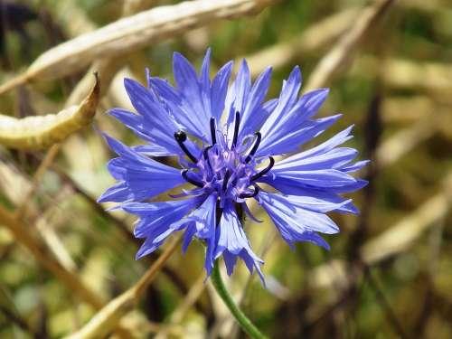 Cornflower Blue Blossom Bloom Flower Summer