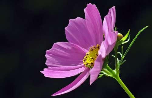 Cosmea Blossom Bloom Cosmos Kosmee Light Purple