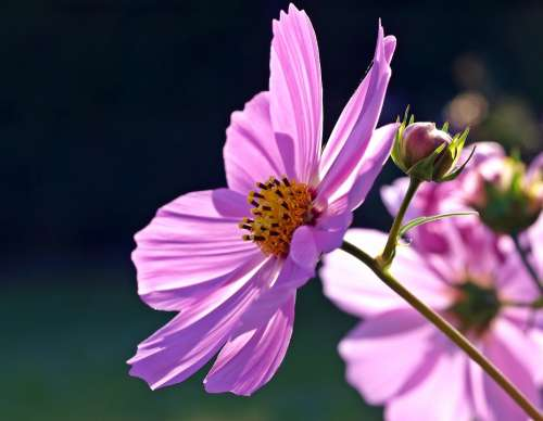 Cosmea Blossom Bloom Cosmos Cosmos Flower Violet