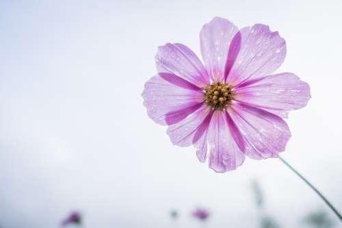 Cosmos Flower Flower Garden Floral Blossom