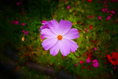 Cosmos Flower Salsa And Flower Pink Cosmos Flower