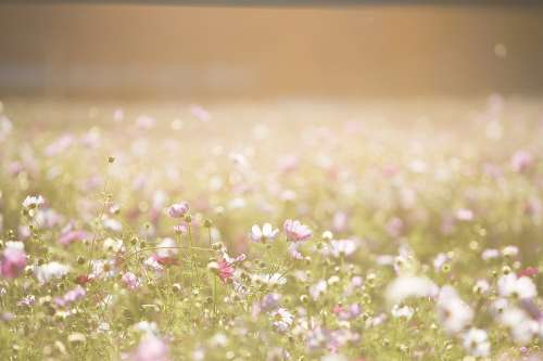 Cosmos Flowers Flowers Meadow Nature Summer