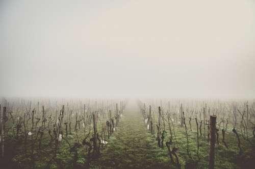 Country Vines Grape Fog Mysterious Haze