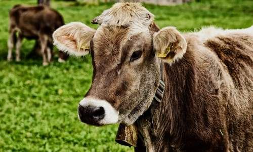 Cow Allgäu Beef Pasture Animal Meadow Nature