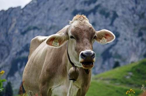 Cow Alpine Alm Mountain Nature