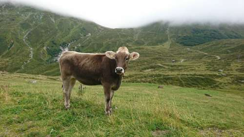 Cow Landscape Freilebend Animal Cattle Agriculture