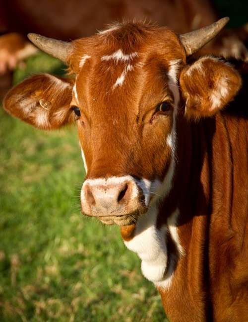 Cow Calf Cattle Stock Brown Young Face Horns