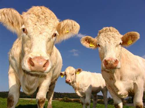 Cows Curious Cattle Agriculture Cattle Breeding